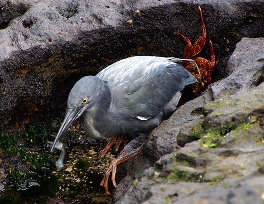 Picture of a lava heron (Butorides sundevalli)