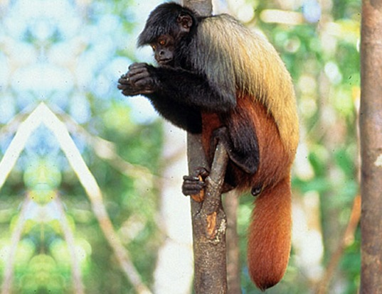 Picture of a golden-backed black uakari (Cacajao melanocephalus)