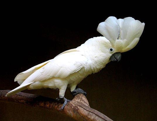 Picture of a white cockatoo (Cacatua alba)