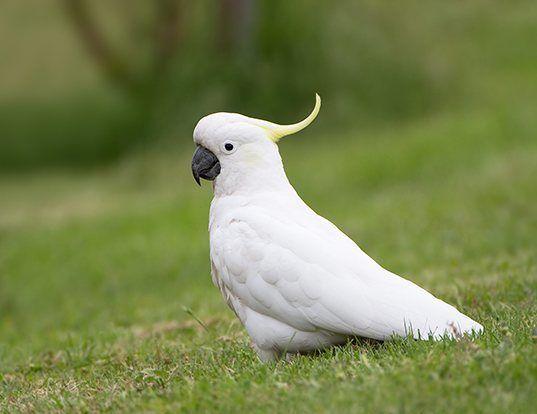 Picture of a sulphur-crested cockatoo (Cacatua galerita)