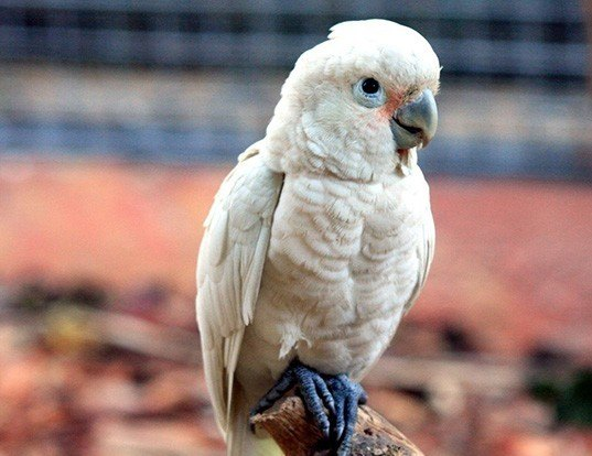Picture of a tanimbar cockatoo (Cacatua goffiniana)