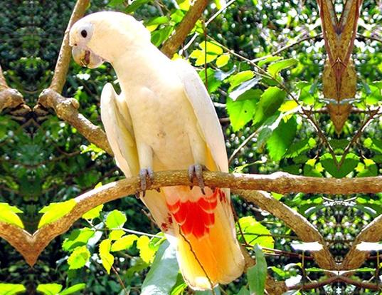 Picture of a philippine cockatoo (Cacatua haematuropygia)