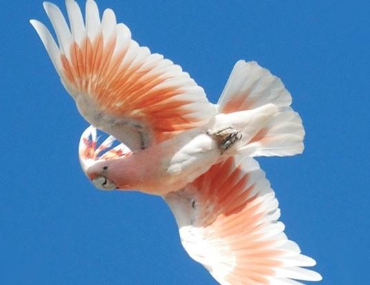 Picture of a major mitchell's cockatoo (Cacatua leadbeateri)