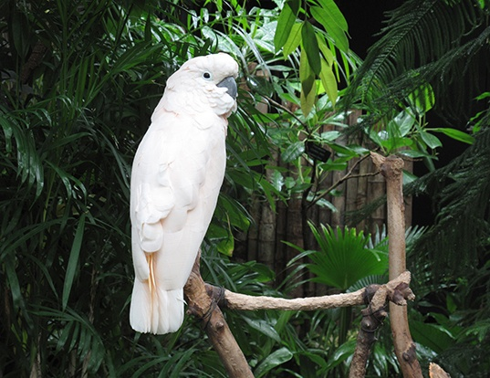 Picture of a salmon-crested cockatoo (Cacatua moluccensis)