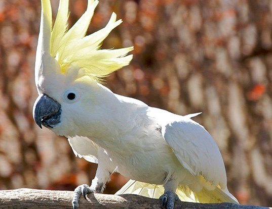 Picture of a blue-eyed cockatoo (Cacatua ophthalmica)