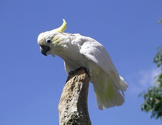 Picture of a yellow-crested cockatoo (Cacatua sulphurea)