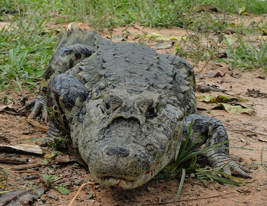 Picture of a broad-snouted caiman (Caiman latirostris)