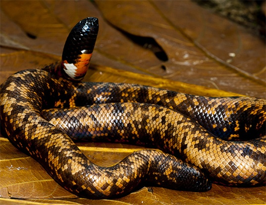Picture of a west african ground-python (Calabaria reinhardti)