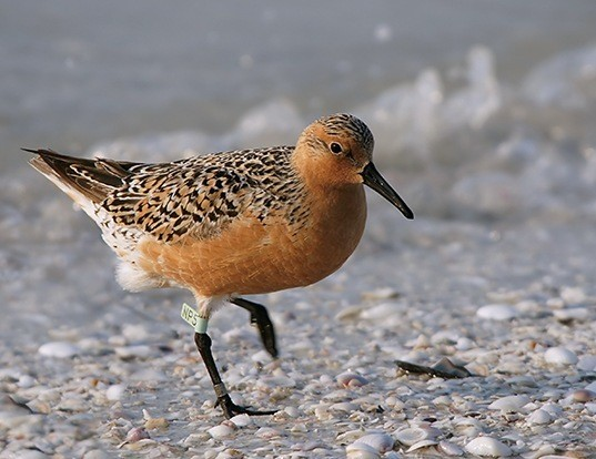 Picture of a red knot (Calidris canutus)