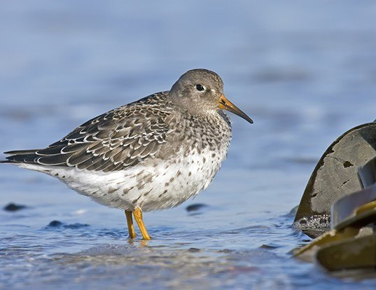 Picture of a purple sandpiper (Calidris maritima)