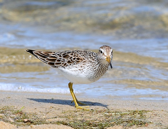 Picture of a pectoral sandpiper (Calidris melanotos)