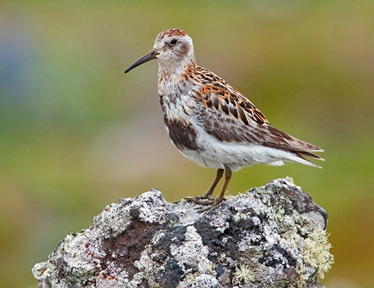 Picture of a rock sandpiper (Calidris ptilocnemis)