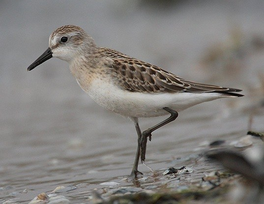 Picture of a semipalmated sandpiper (Calidris pusilla)