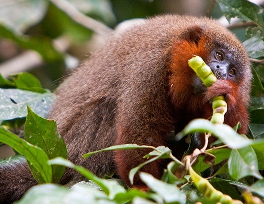 Picture of a coppery titi monkey (Callicebus cupreus)