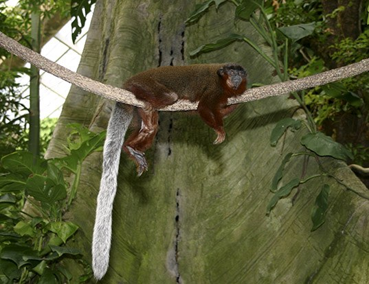 Picture of a red-bellied titi monkey (Callicebus moloch)
