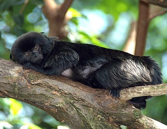 Picture of a goeldi's monkey (Callimico goeldii)