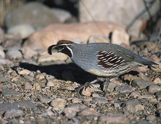 Picture of a gambel's quail (Callipepla gambelii)
