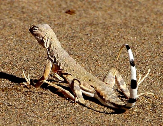 Picture of a zebra-tailed lizard (Callisaurus draconoides)