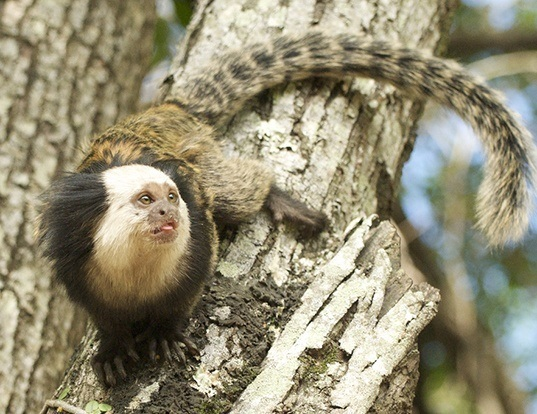 Picture of a geoffroy's tufted-ear marmoset (Callithrix geoffroyi)