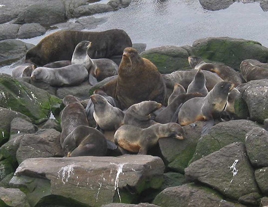 Picture of a northern fur seal (Callorhinus ursinus)