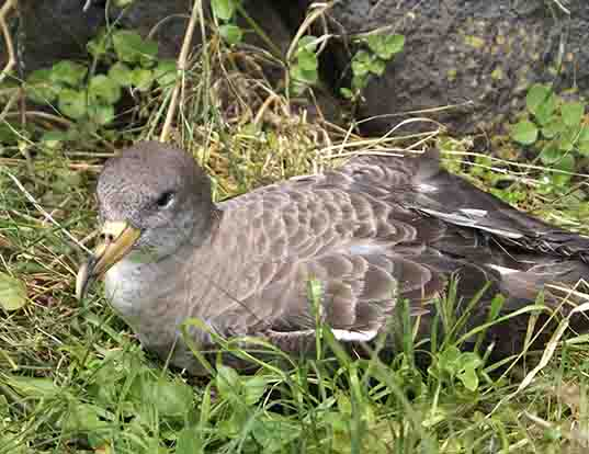 Picture of a scopoli's shearwater (Calonectris diomedea)