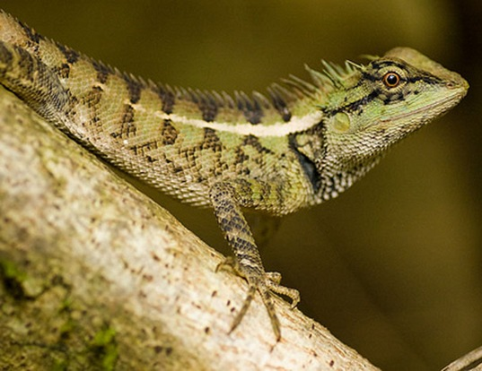 Picture of a east indian emma lizard (Calotes emma)