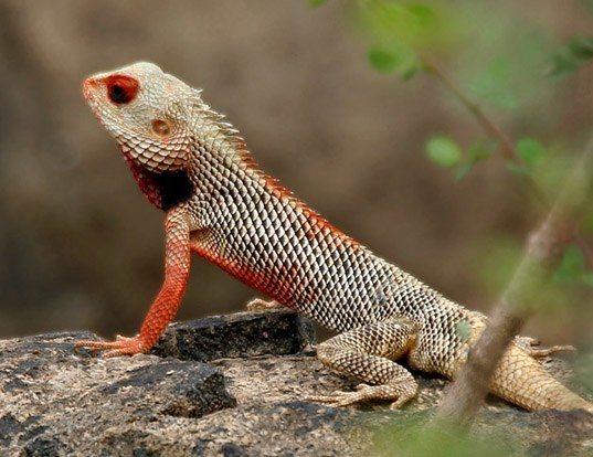 Picture of a eastern garden lizard (Calotes versicolor)