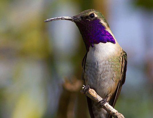 Lucifer Hummingbird (Calothorax lucifer) Photo Image