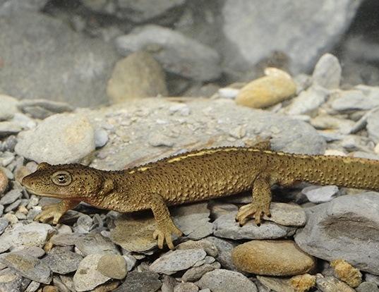 Picture of a pyrenean brook salamander (Calotriton asper)