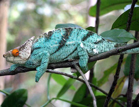 Picture of a parson's chameleon (Calumma parsonii)