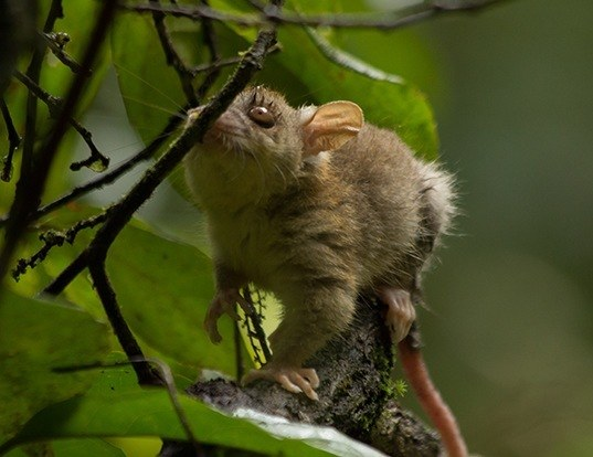 Picture of a bare-tailed woolly opossum (Caluromys philander)