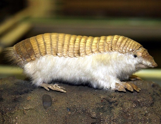 Picture of a greater fairy armadillo (Calyptophractus retusus)