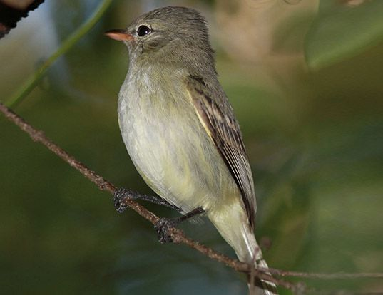 Picture of a northern beardless-tyrannulet (Camptostoma imberbe)