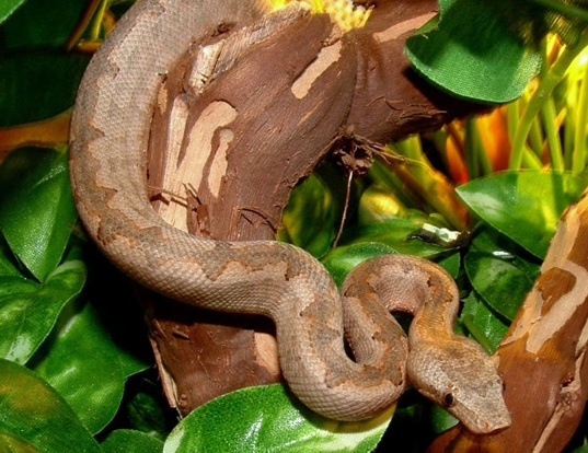Picture of a new guinea tree boa (Candoia carinata)