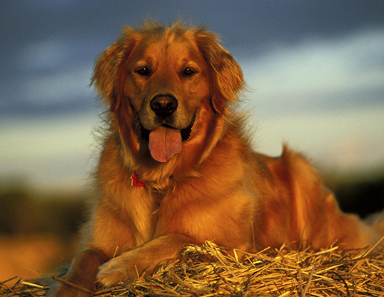 Picture of a domestic dog (Canis familiaris)