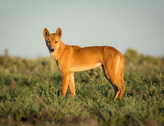 Picture of a dingo (Canis lupus dingo)