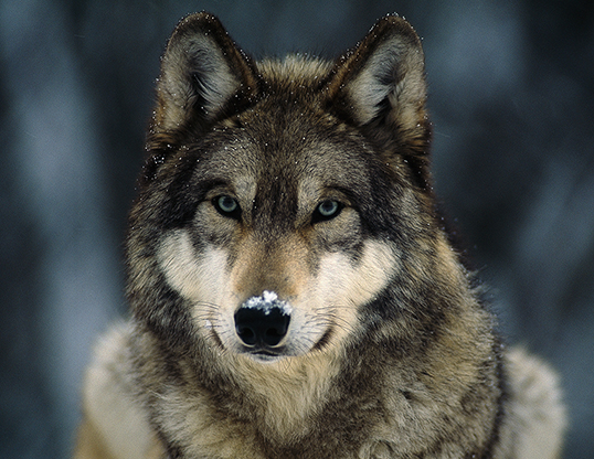 Picture of a gray wolf (Canis lupus)