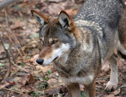 Picture of a red wolf (Canis rufus)