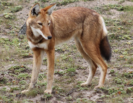 Picture of a ethiopian wolf (Canis simensis)