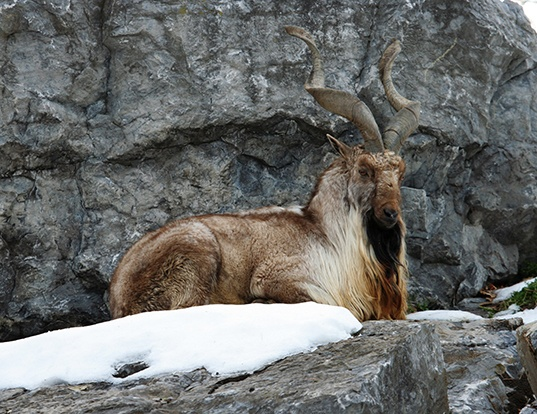 Picture of a markhor (Capra falconeri)