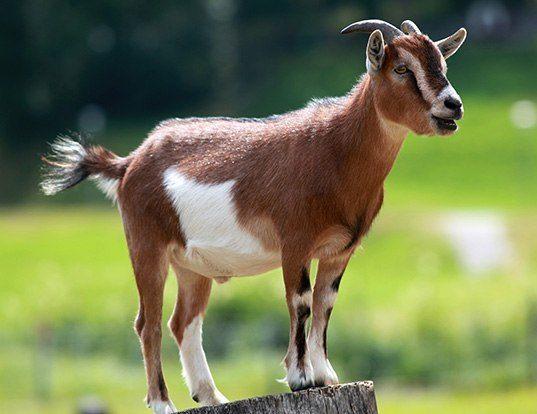 Picture of a domestic goat (Capra hircus)