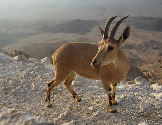 Picture of a nubian ibex (Capra ibex nubiana)