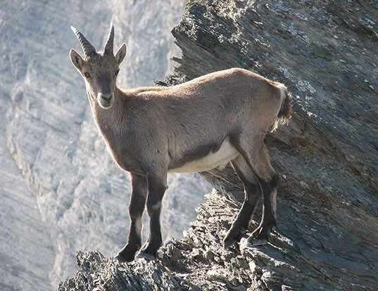 Picture of a alpine ibex (Capra ibex)