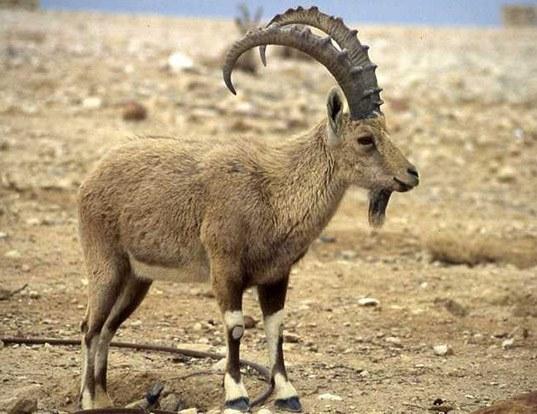 Ibex Goat ASIATIC IBEX LI...