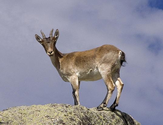 Picture of a spanish ibex (Capra pyrenaica)