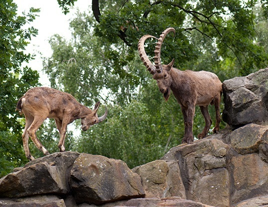 Picture of a siberian ibex (Capra sibirica)
