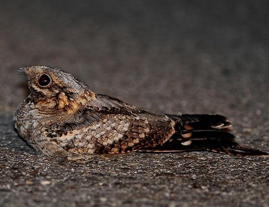 Picture of a red-necked nightjar (Caprimulgus ruficollis)