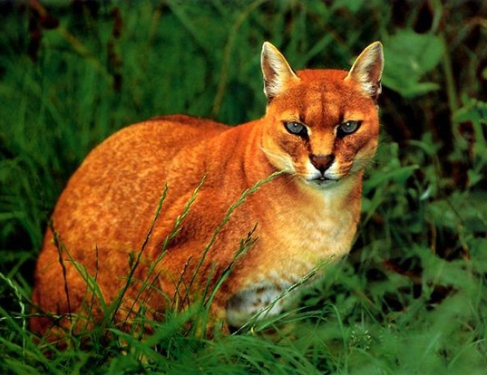 Picture of a african golden cat (Caracal aurata)