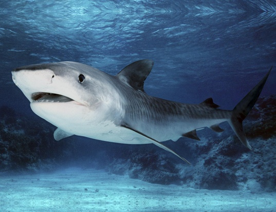 Picture of a blacknose shark (Carcharhinus acronotus)