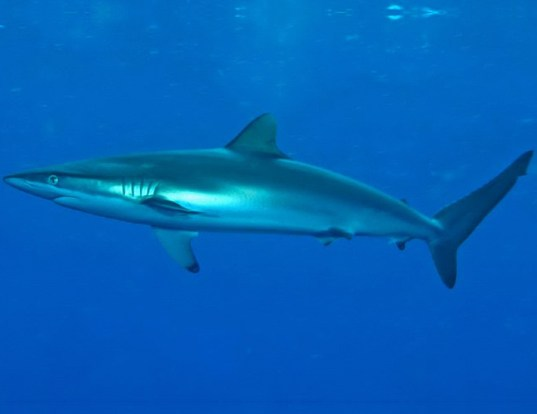 Picture of a spinner shark (Carcharhinus brevipinna)